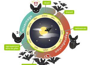 Infographie sur le cycle de vie des chauves-souris, deuxième version